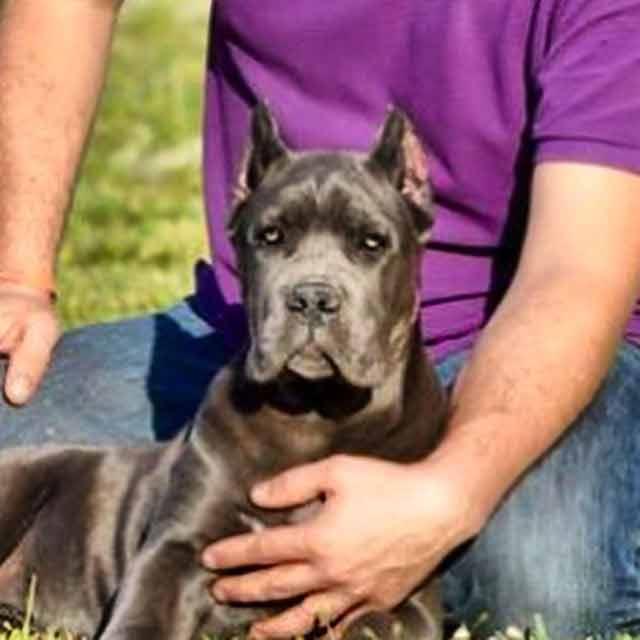 Buy dog cane corso in Washington D.C USA and cane corso puppies for sale in Washington D.C USA3