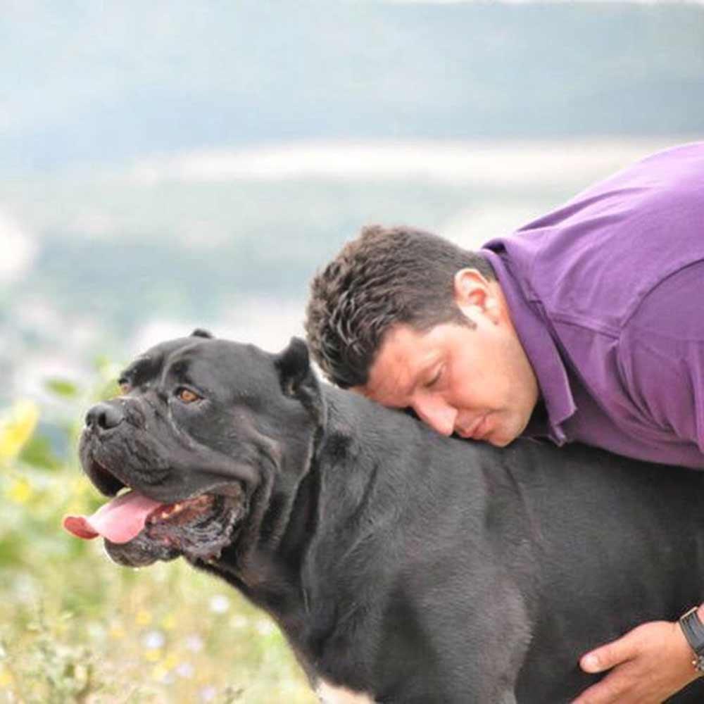 Buy dog cane corso in in Boston-Massachusetts and cane corso puppies for sale in Boston-Massachusetts.1