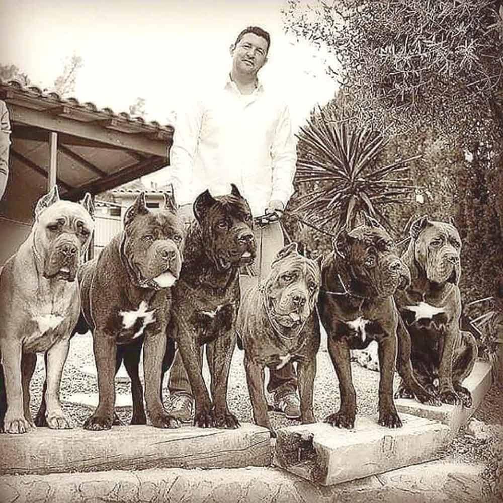 Buy dog cane corso in in Boston-Massachusetts and cane corso puppies for sale in Boston-Massachusetts.3
