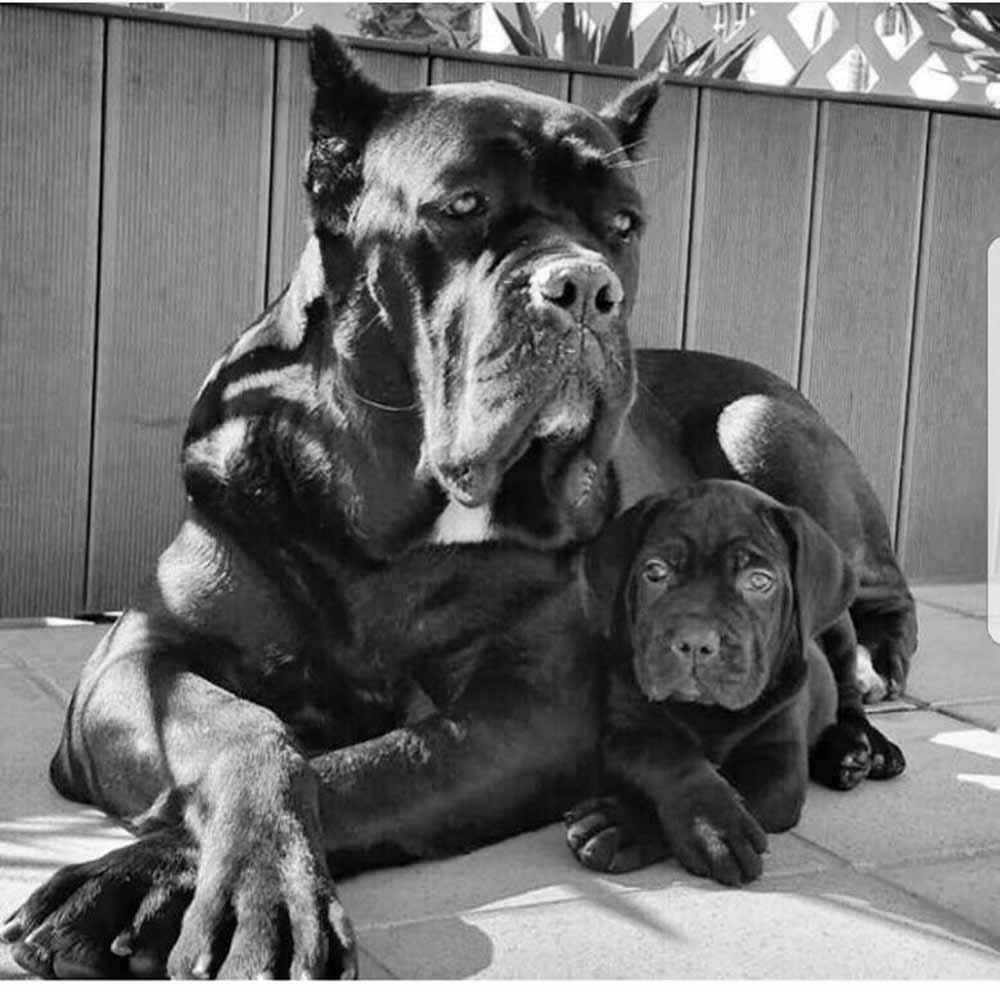 Buy dog cane corso in in Boston-Massachusetts and cane corso puppies for sale in Boston-Massachusetts.5