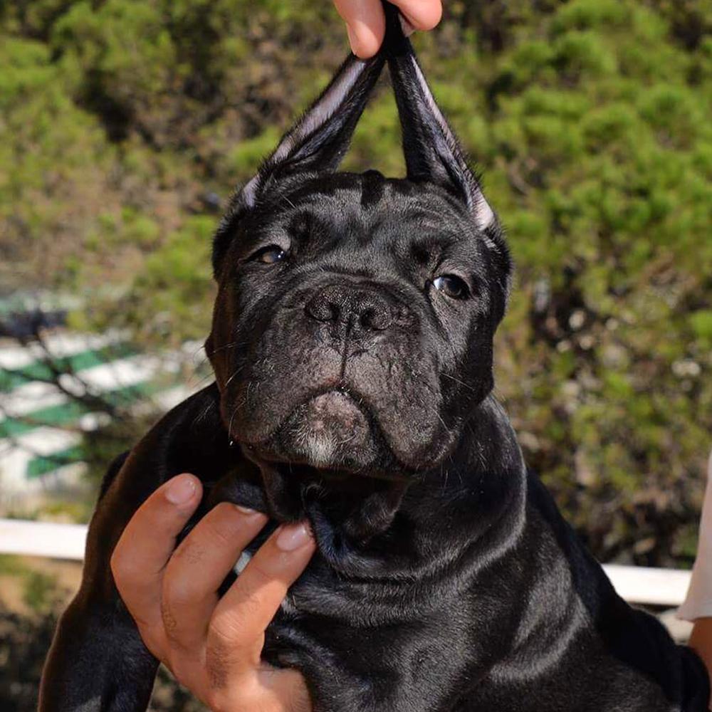 Comprar perro cane corso en Madrid-España y venta de cachorros de cane corso italiano en Madrid-España