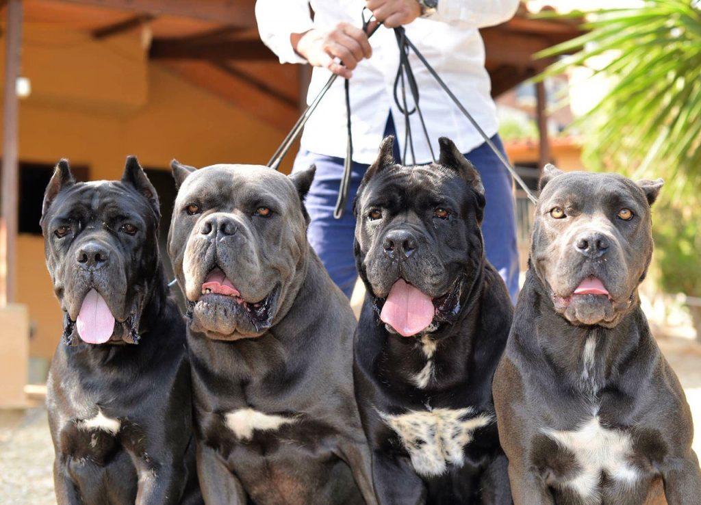 Comprar perro cane corso en Madrid-España y venta de cachorros de cane corso italiano en Madrid-España4