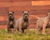 buy dog cane corso in Los Angeles California and cane corso puppies for sale in Los Angeles California1