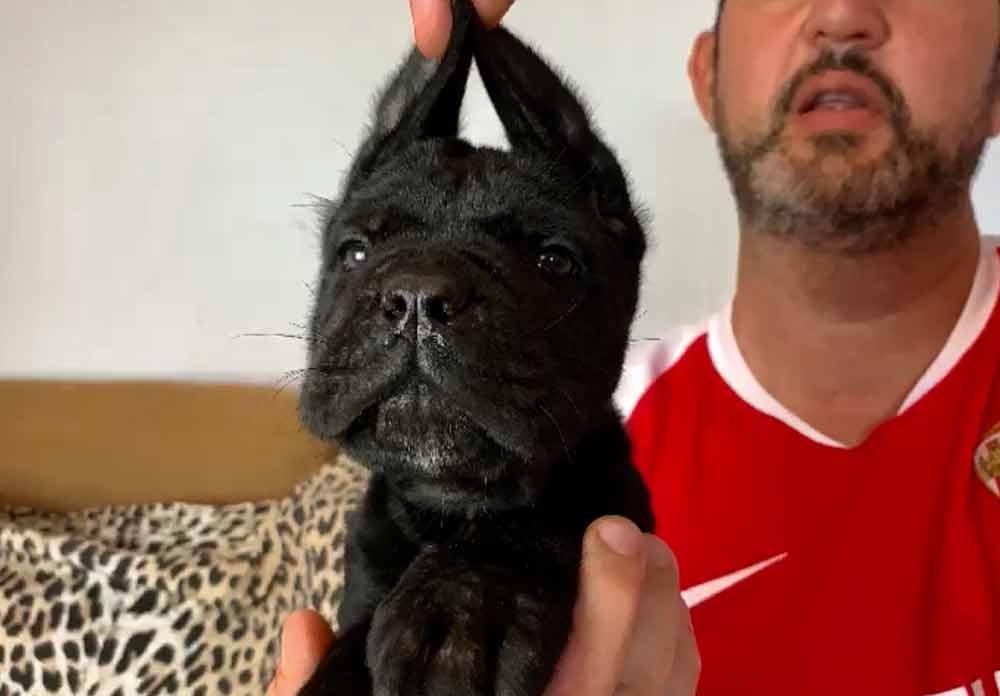 buy dog cane corso in NY-NUEVA YORK - MANHATTAN and puppies for sale dog italian mastiff
