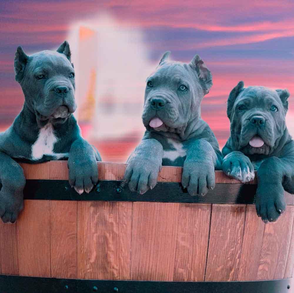 Ny Manhattan: Buy Dog Cane Corso In Manhattan NY New York And Puppies