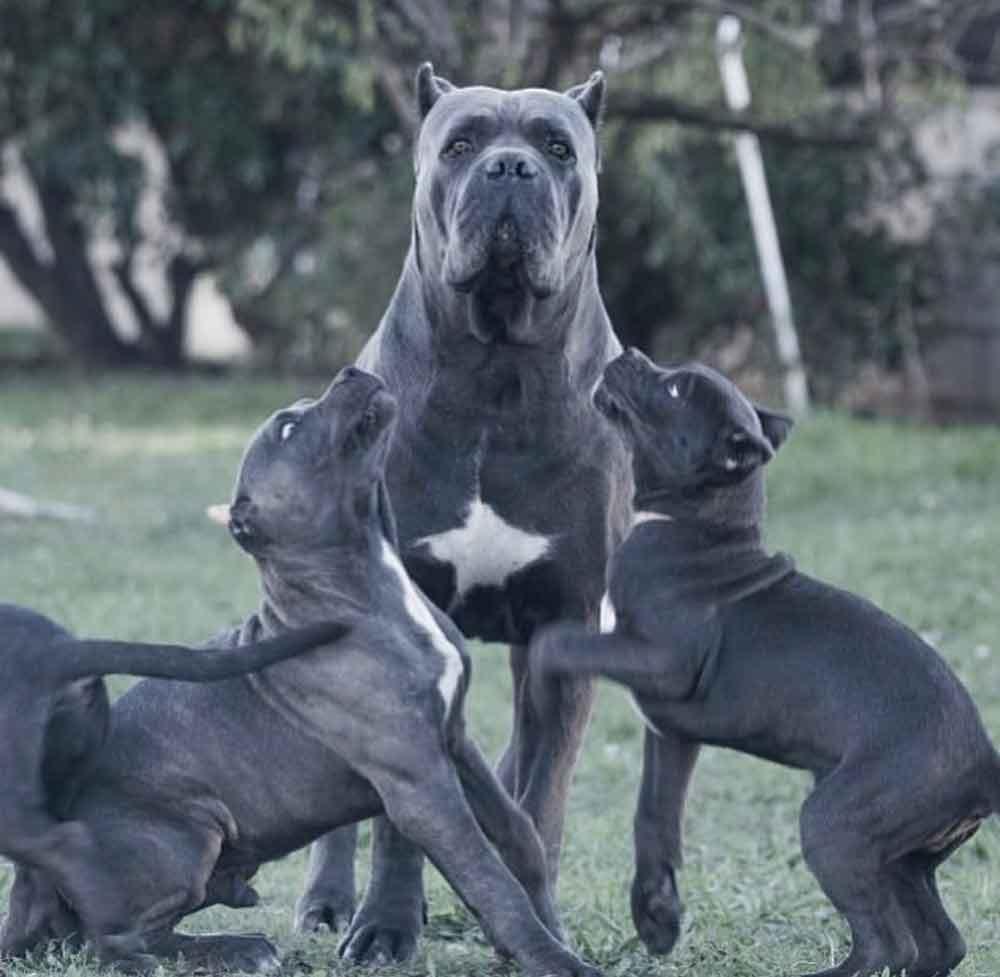 buy dog cane corso in NY-NUEVA YORK - MANHATTAN and puppies for sale dog italian mastiff4