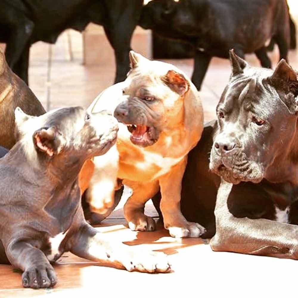 comprar perro cane corso Miami-Florida y venta de cachorros de cane corso italiano en Miami-Florida 1