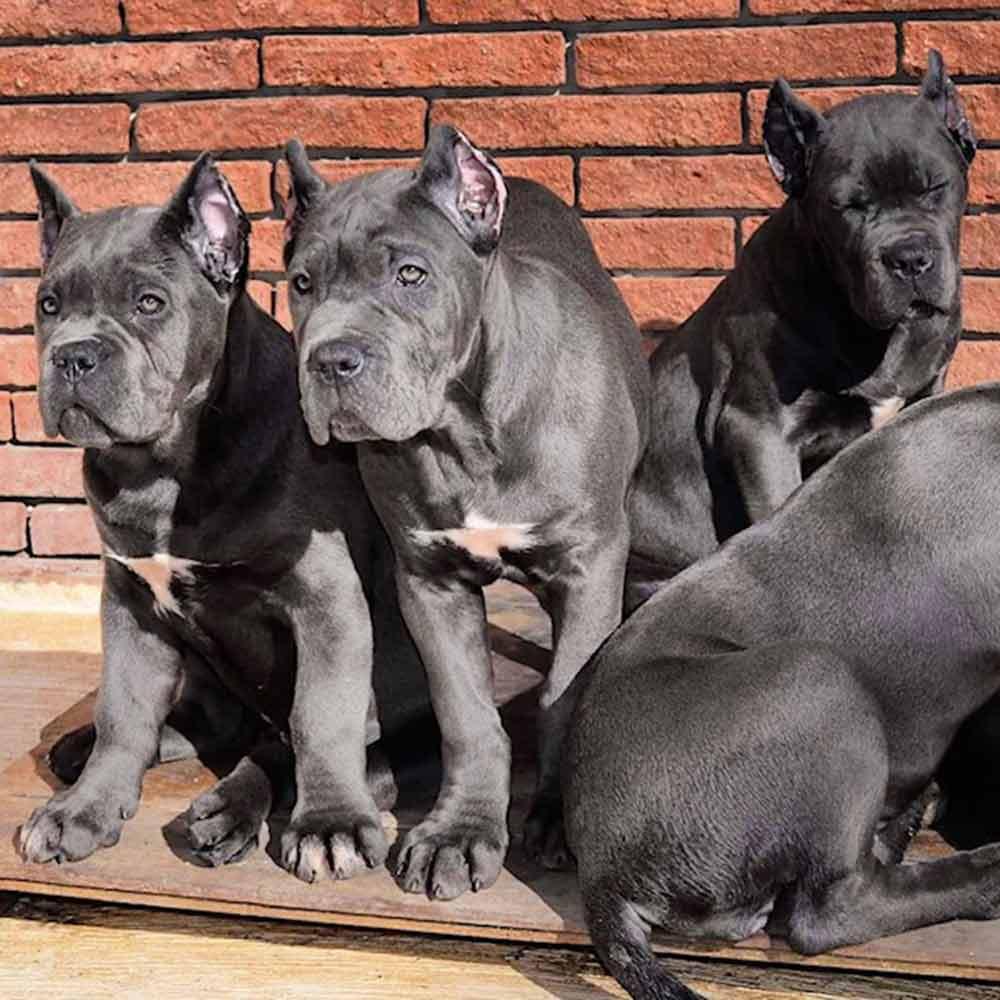 comprar perro cane corso Miami-Florida y venta de cachorros de cane corso italiano en Miami-Florida 3