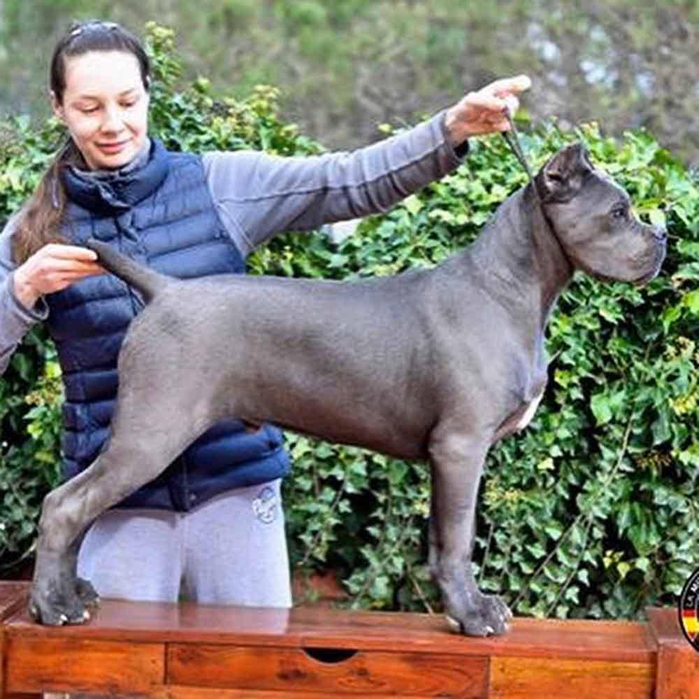 comprar perro cane corso Miami-Florida y venta de cachorros de cane corso italiano en Miami-Florida 4