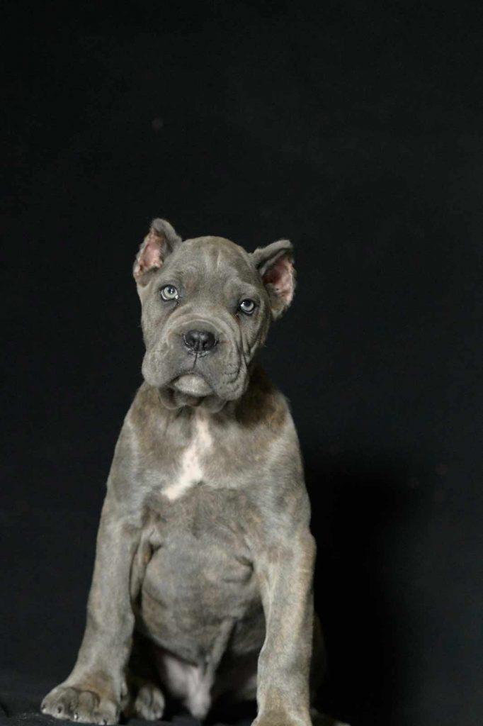 Comprar perro cane corso en Monterrey mexico y venta de cachorros en Monterrey mexico