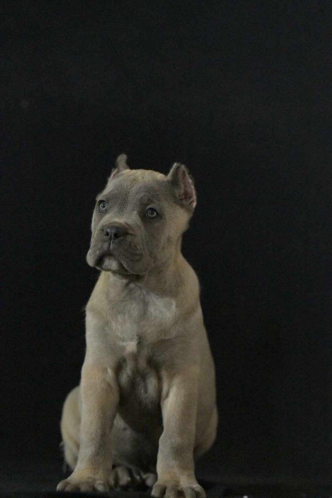 Comprar perro cane corso en Monterrey mexico y venta de cachorros en Monterrey mexico1