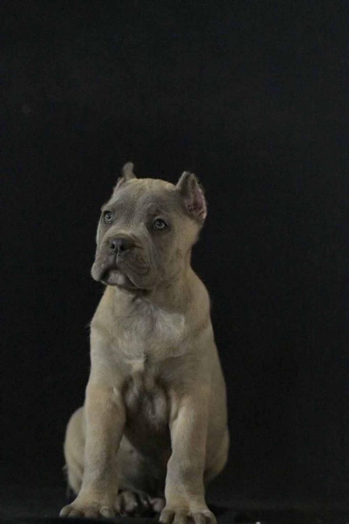 comprar perro cane corso en Guadalajara Mexico y compra venta de cachorros de cane corso en Guadalajara Mexico1
