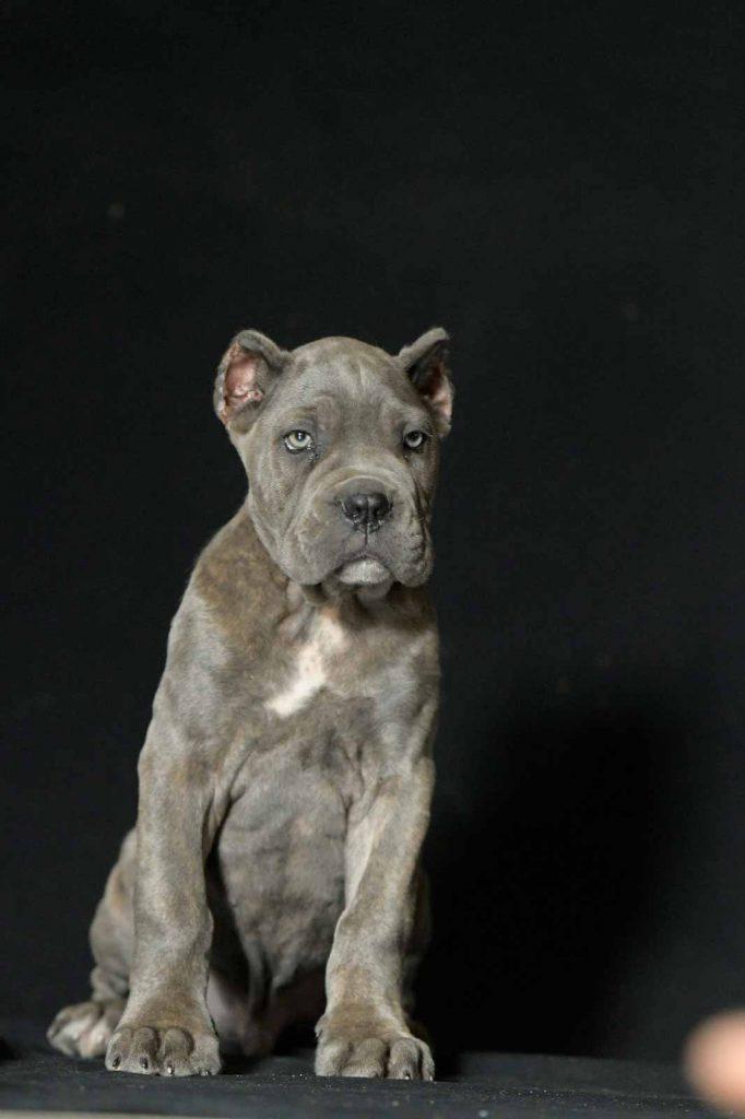 comprar perro cane corso en Guadalajara Mexico y compra venta de cachorros de cane corso en Guadalajara Mexico2