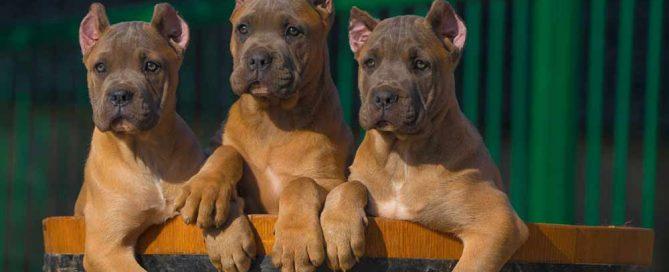 Comprar perro cane corso en Madrid y venta de cachorros de cane corso en madrid-España