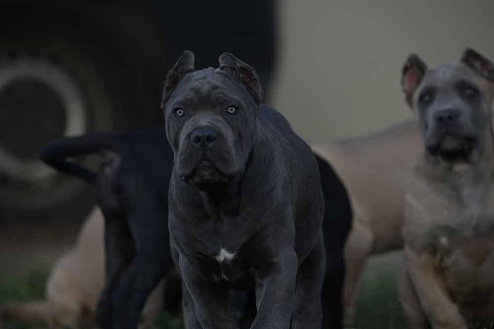 Comprar perro cane corso en Madrid y venta de cachorros de cane corso en madrid-España3