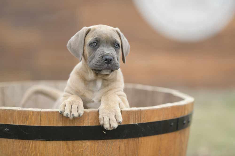 Comprar perro cane corso en Madrid y venta de cachorros de cane corso en madrid-España4
