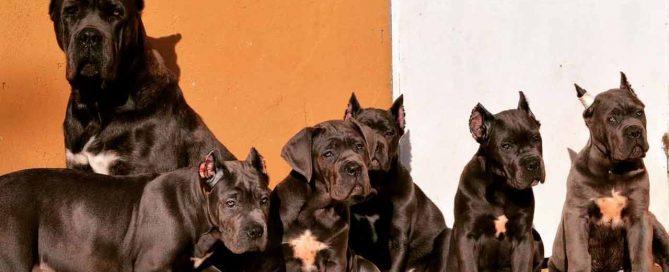 comprar perro cane corso en La Habana y venta de cachorros de cane corso en La Habana Cuba