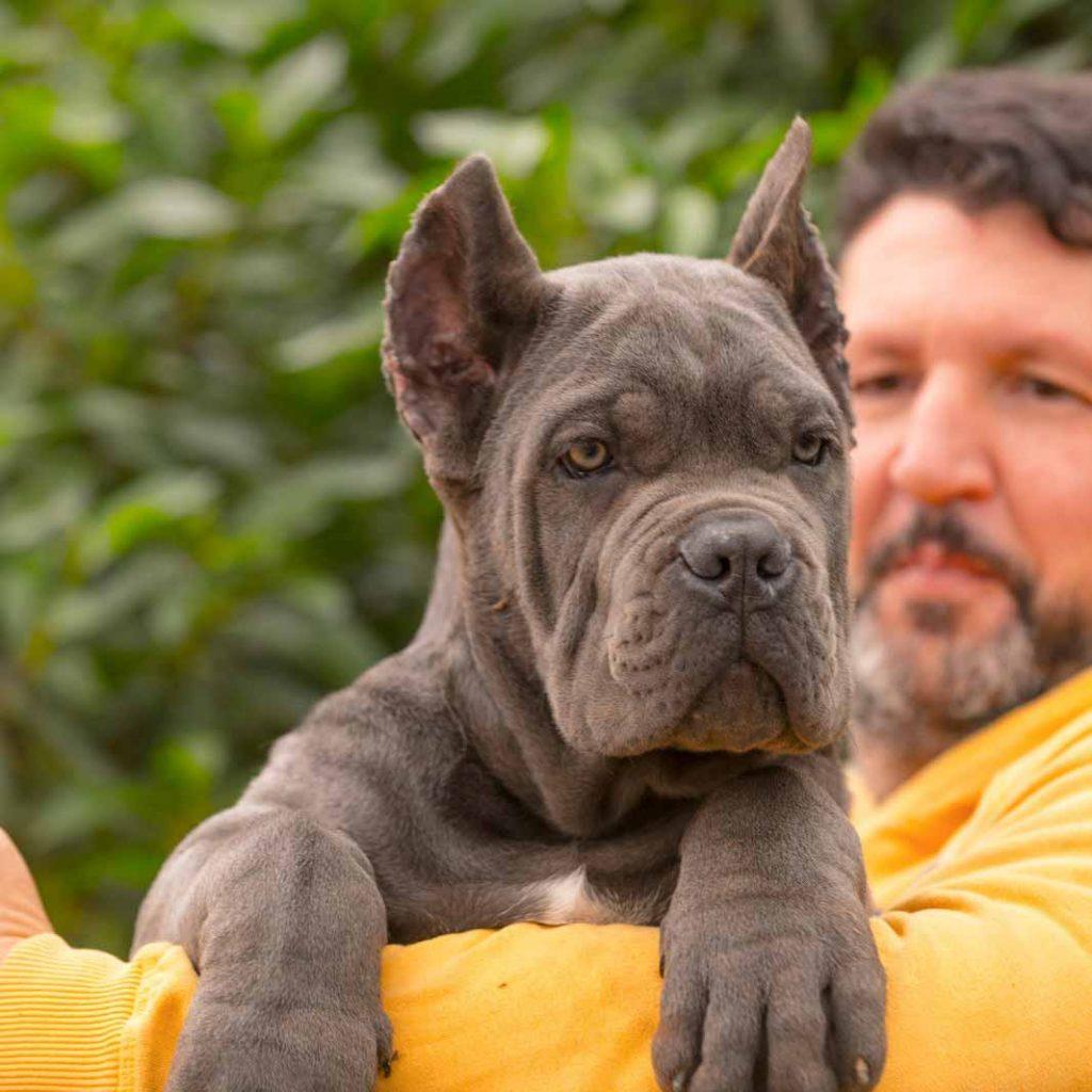 comprar perro cane corso en La Habana y venta de cachorros de cane corso en La Habana Cuba4