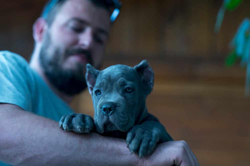 comprar perro cane corso en Quito y venta de cachorros cane corso Ecuador y criador en Quito