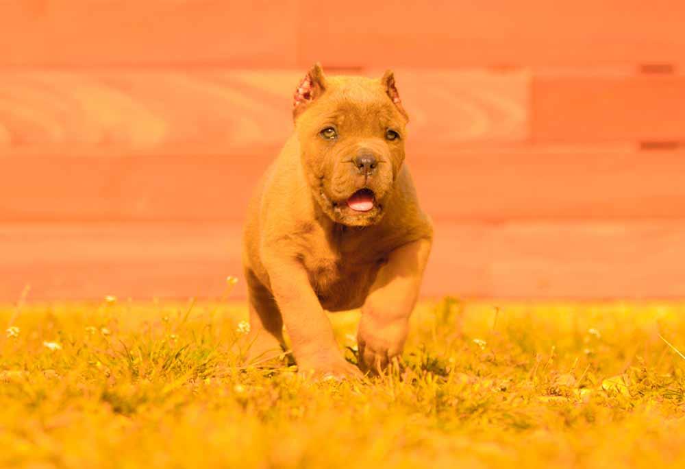 comprar perro cane corso en San Diego California y venta de cachorros de cane corso en California