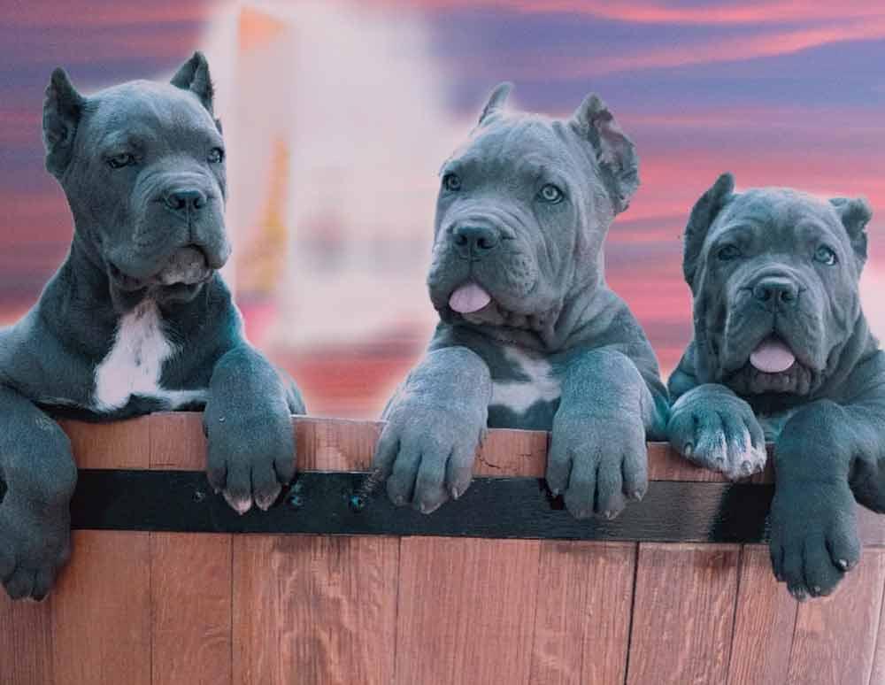 comprar perro cane corso en San Juan Puerto rico y venta de cachorros de cane corso en San Juan Puerto rico