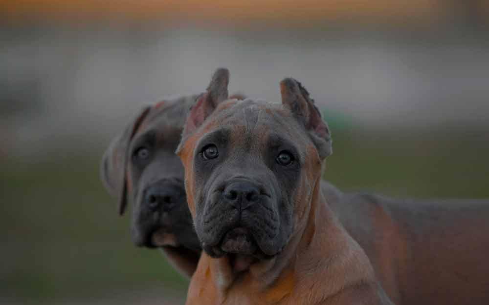 comprar perro cane corso en San Juan Puerto rico y venta de cachorros de cane corso en San Juan Puerto rico1