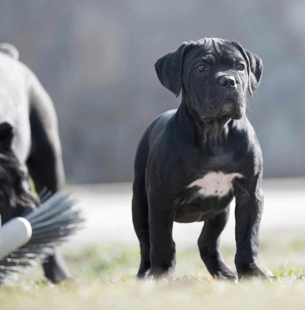 comprar perro canecorso en Lima venta de cachorros de cane corso Peru y criador de cane corso en Peru1
