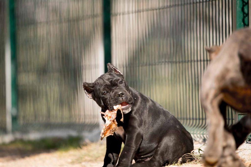 comprar perro canecorso en Lima venta de cachorros de cane corso Peru y criador de cane corso en Peru3