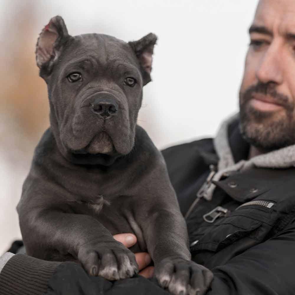 comprar perro canecorso en Lima venta de cachorros de cane corso Peru y criador de cane corso en Peru4