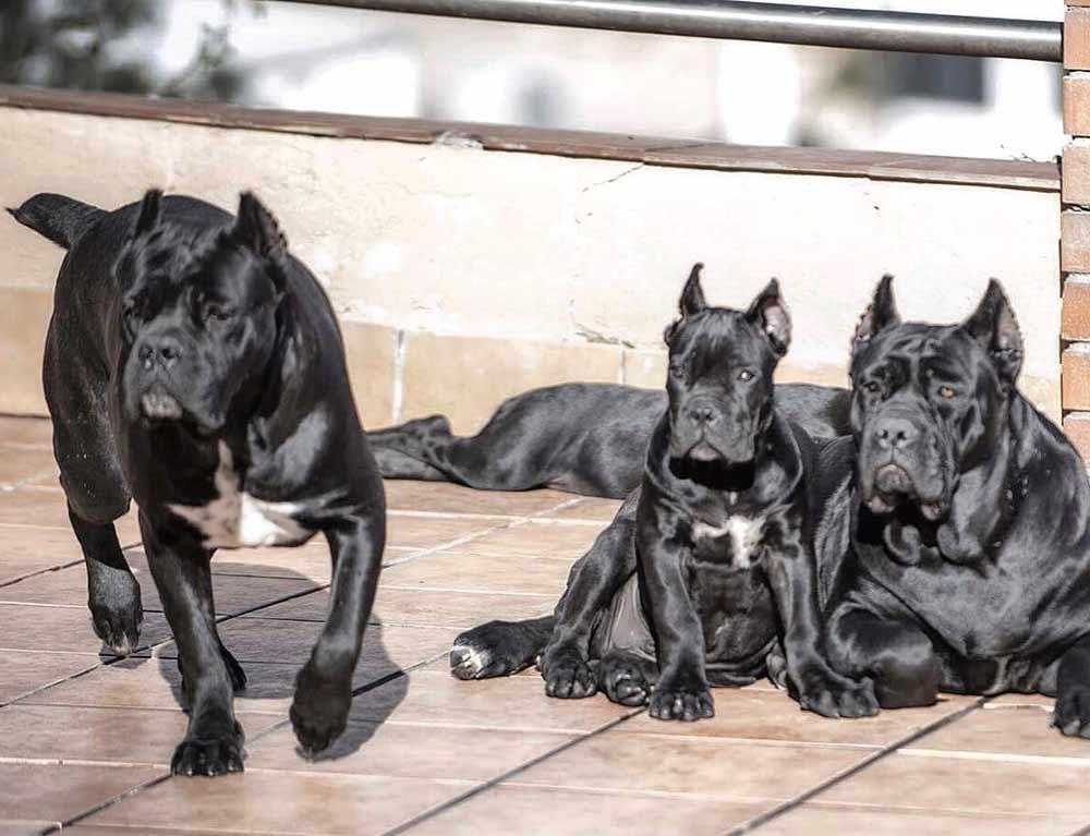 for sale dog canecorso in San jose and buy puppies of cane corso and canecorso breeder in Usa3