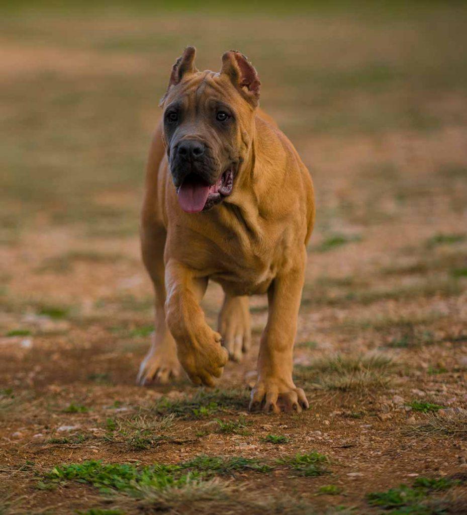 comprar cane corso en Quito y venta de cachorros de cane corso en Quito y criador de cane corso italiano en Ecuador1