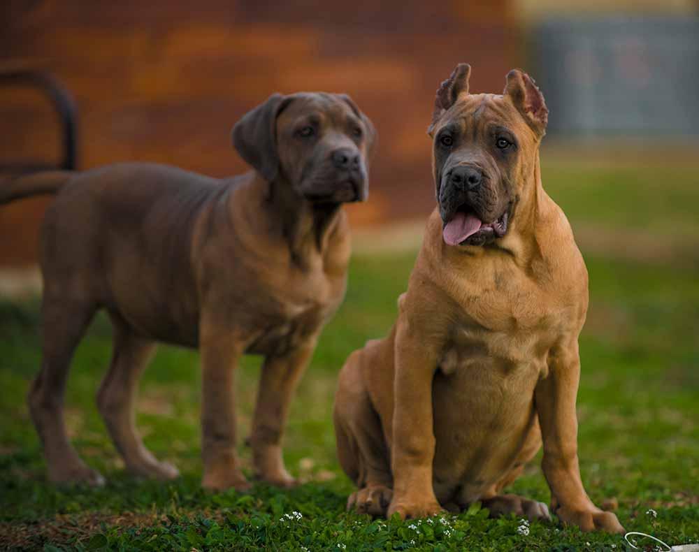 comprar cane corso en Quito y venta de cachorros de cane corso en Quito y criador de cane corso italiano en Ecuador2