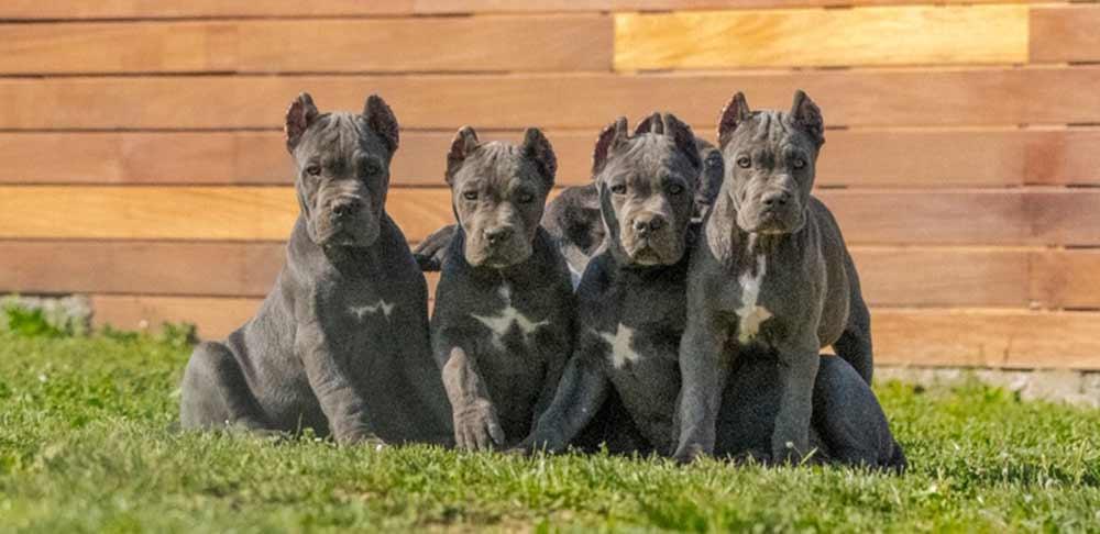 comprar perro cane corso en Asuncion y venta de cachorros de cane corso en Paraguay Asuncion criador de cane corso en Asuncion