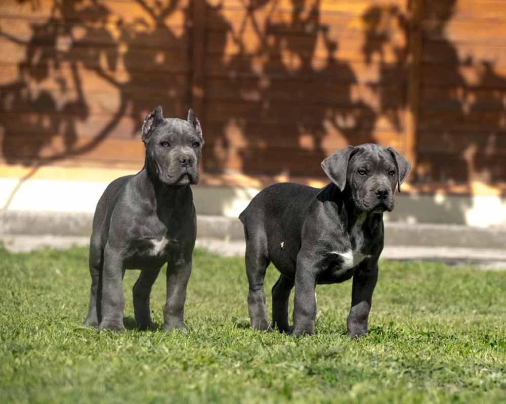 comprar perro cane corso en Asuncion y venta de cachorros de cane corso en Paraguay Asuncion criador de cane corso en Asuncion3
