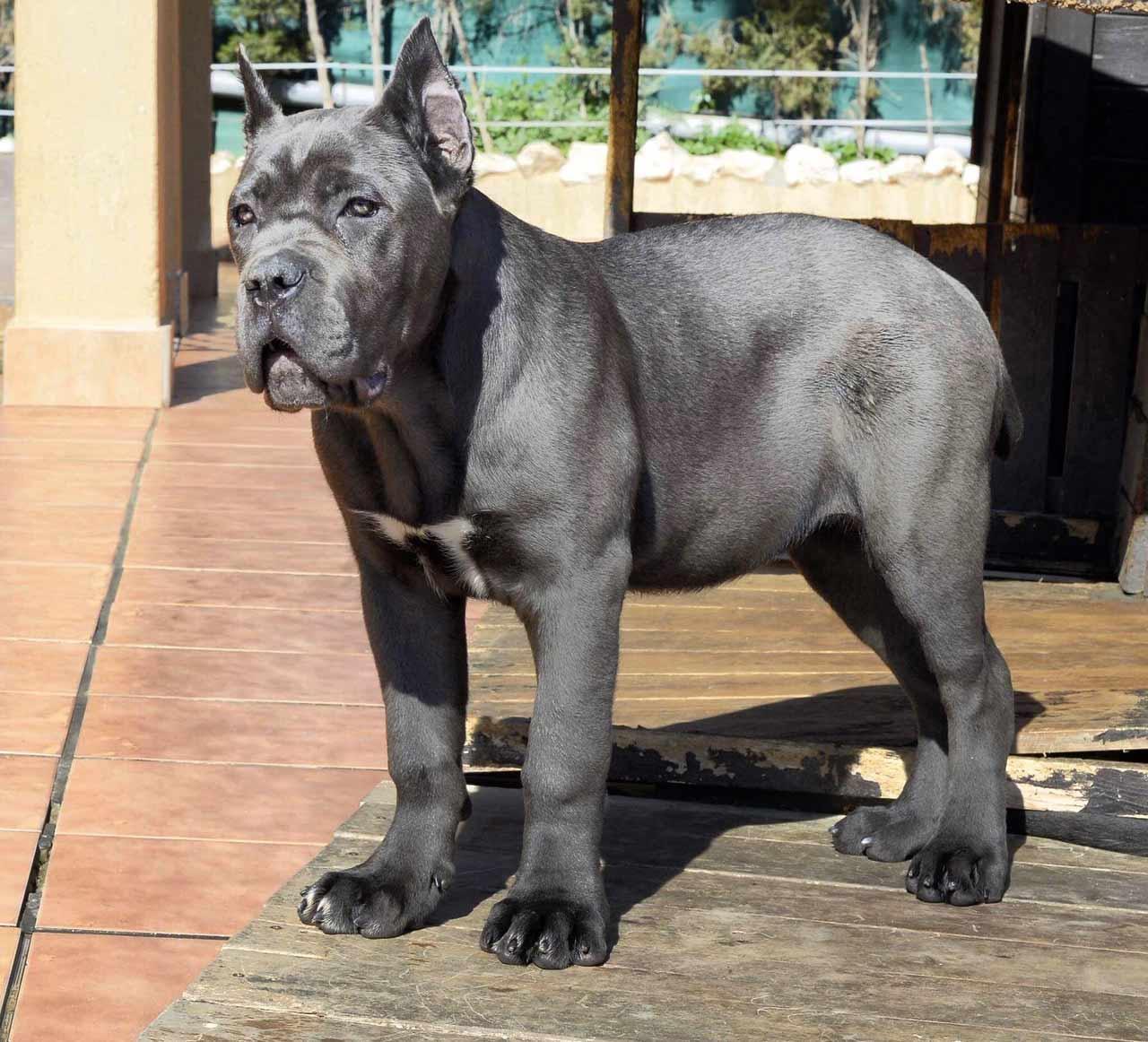 Cria De Cane Corso Venta De Cane Corsos Comprar Cachorros Cane Corso Online