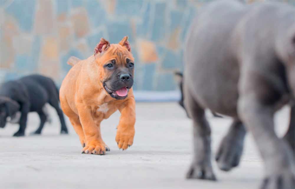 Acheter cane corso à Paris France et à vendre chiots à paris