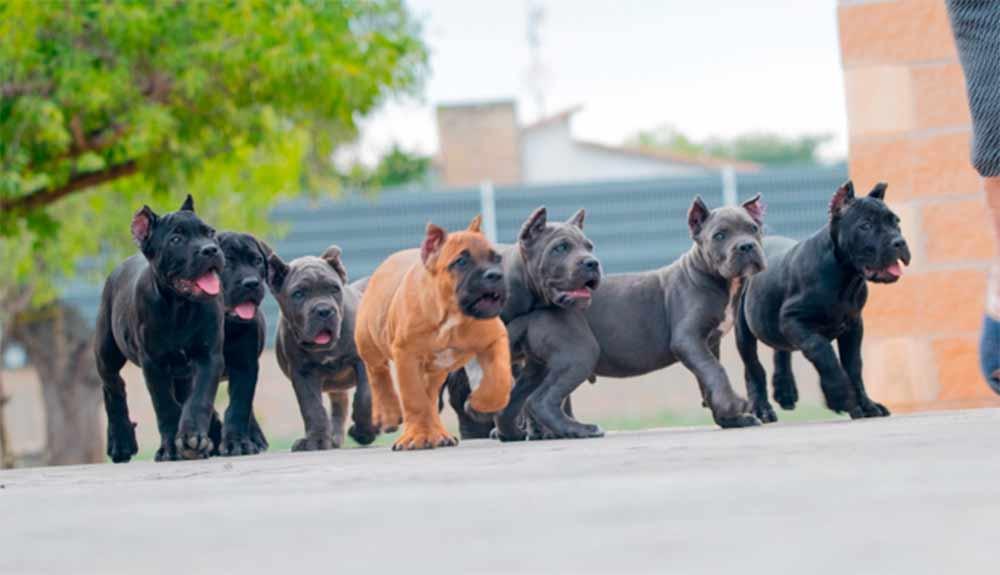 Acheter cane corso à Paris France et à vendre chiots à paris2