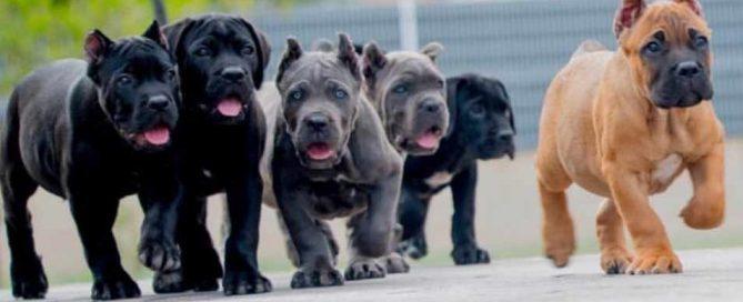Venta De Cane Corso Comprar Cachorros Cane Corso Online