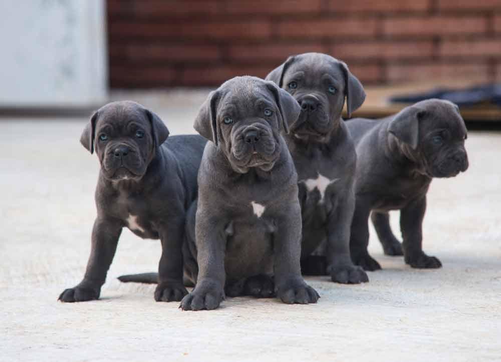 Buy cane corso in Australia and cane corso puppies for sale in Australia