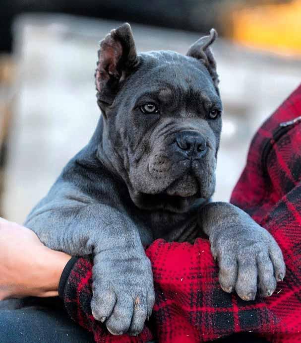 Buy cane corso in Australia and cane corso puppies for sale in Australia1
