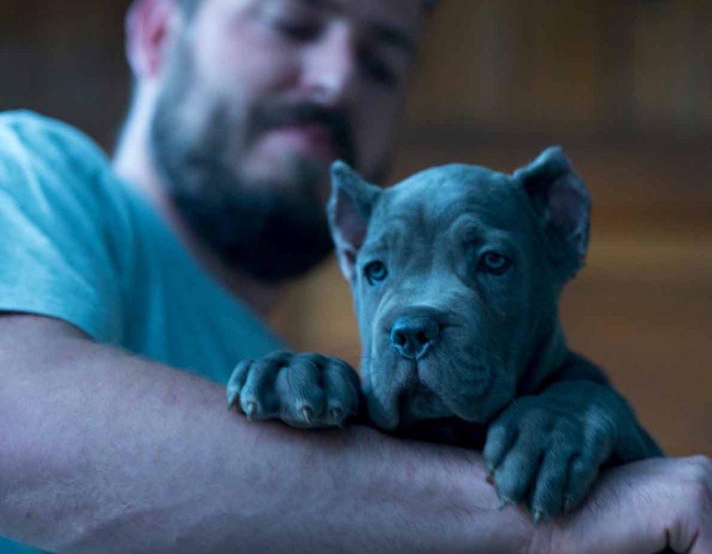 Buy cane corso in Australia and cane corso puppies for sale in Australia3