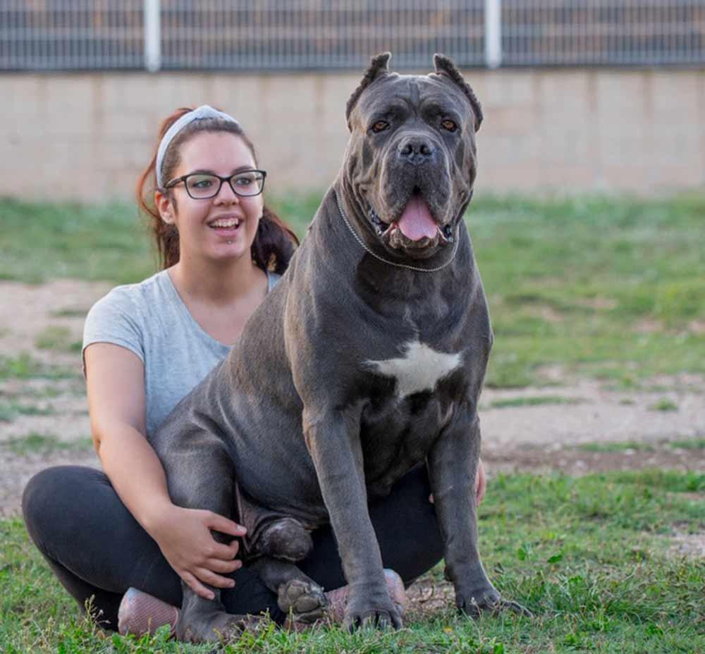 Buy cane corso in Australia and cane corso puppies for sale in Australia4