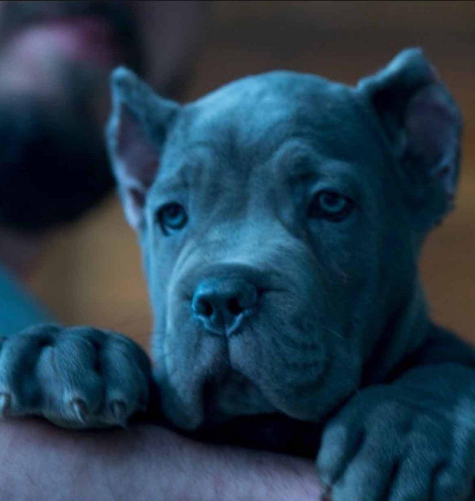 Cane corso blue4
