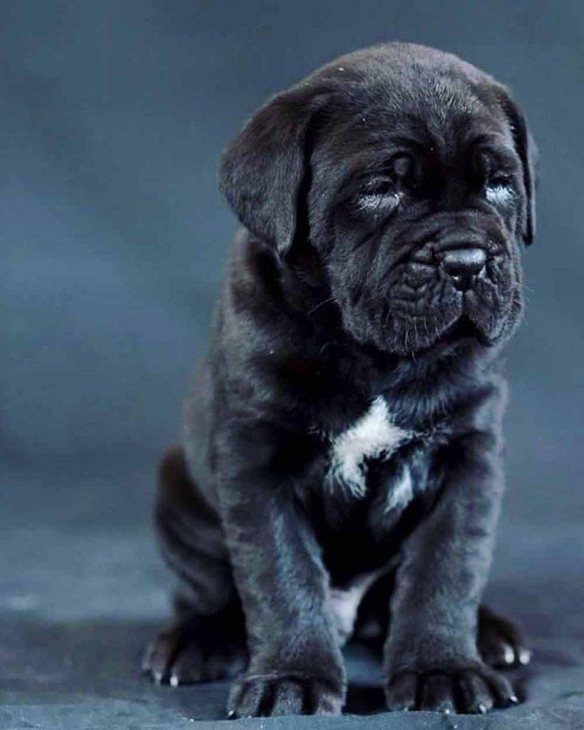 Comprar cane corso en Madrid y venta de cachorros en Madrid y Criador de cane corso en Madrid