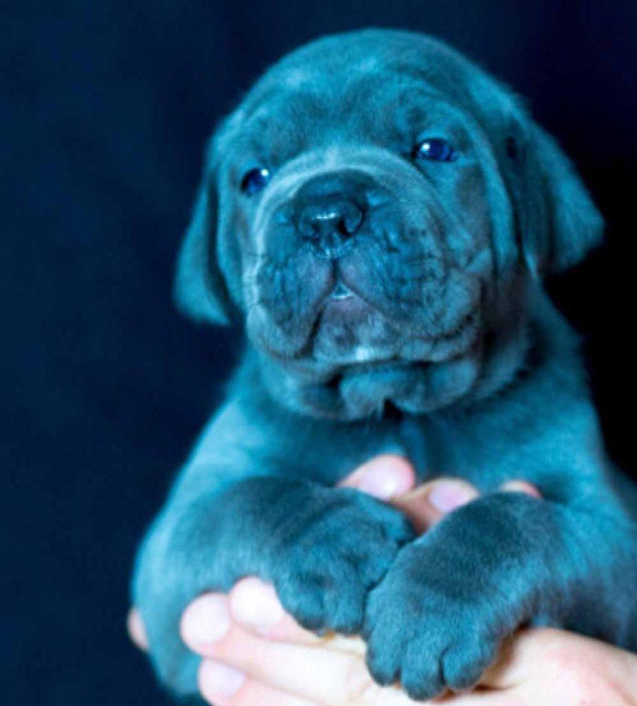 Comprar cane corso en Madrid y venta de cachorros en Madrid y Criador de cane corso en Madrid2