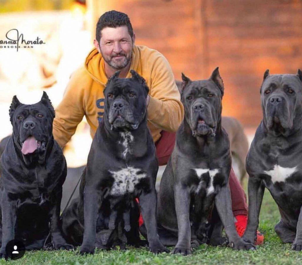 Comprar cane corso en Madrid y venta de cachorros en Madrid y Criador de cane corso en Madrid4