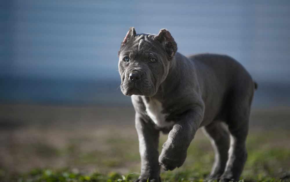 Comprar cane corso en Montevideo Uruguay y Venta cachorros de cane corso y Criadores de Cane corso Uruguay