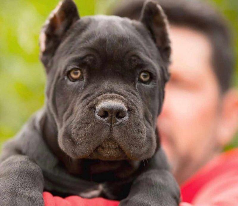 Comprar cane corso en Montevideo Uruguay y Venta cachorros de cane corso y Criadores de Cane corso Uruguay4