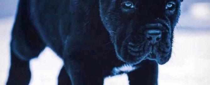 Comprar cane corso italiano en Republica Dominicana y venta de cachorros de cane corso en Republica Dominicana