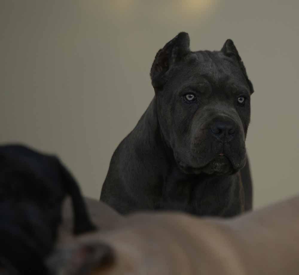 Comprar cane corso italiano en Republica Dominicana y venta de cachorros de cane corso en Republica Dominicana3